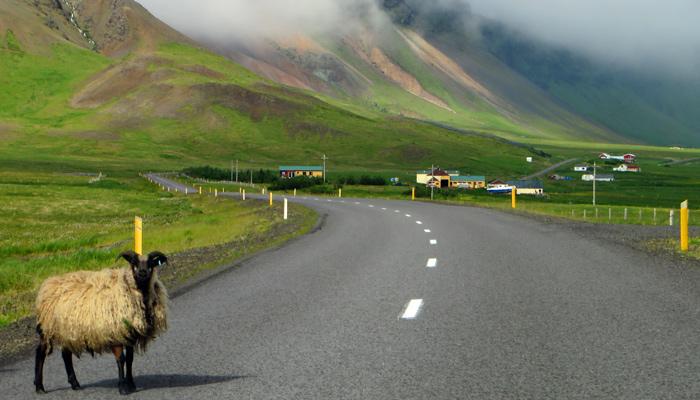 Bremsen für Schaf in Island