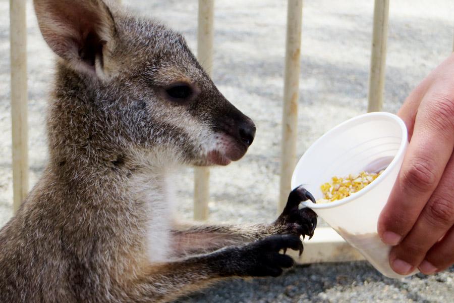 Wallaby in Australien