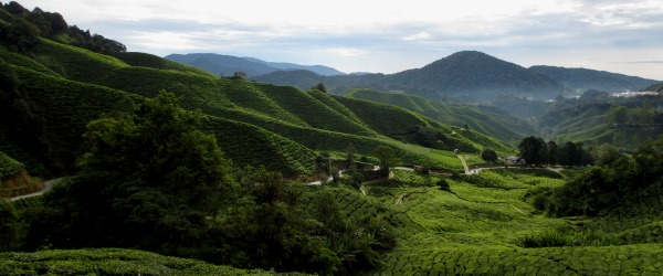 Die Teeplantagen in den Cameron Highlands.