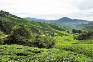In den Teeplantagen in den Cameron Highlands riecht man weit und breit frischen Schwarztee - einfach ein Blatt zwischen den Fingern zerdrücken und genießen.