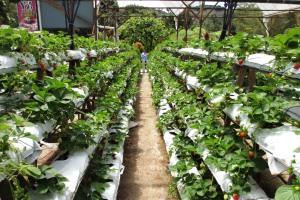 In den zahlreichen Erdbeer-Plantagen kann man Erdbeer-Shakes und Schokoerdbeeren kaufen - alles für die Touristen.