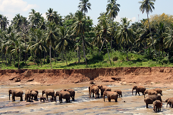 Das Elefantenwaisenhaus in Pinnawela ist längst zur Touristenattraktion geworden.