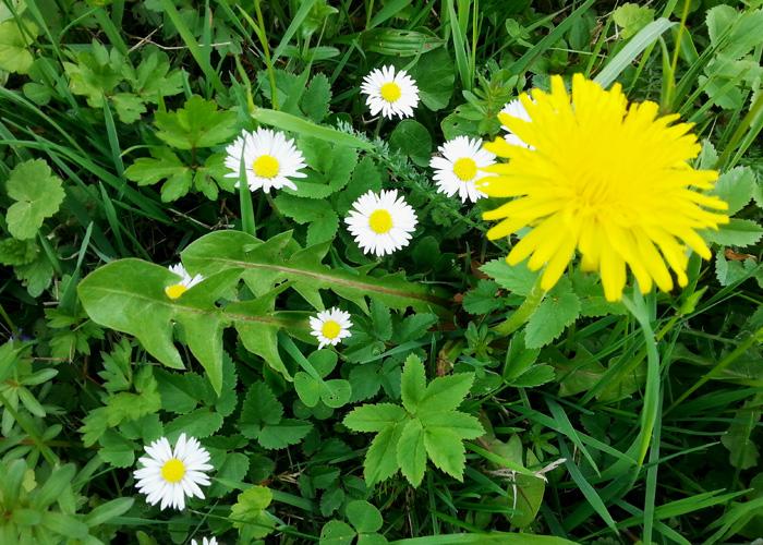 Blumenwiese in Bergheim
