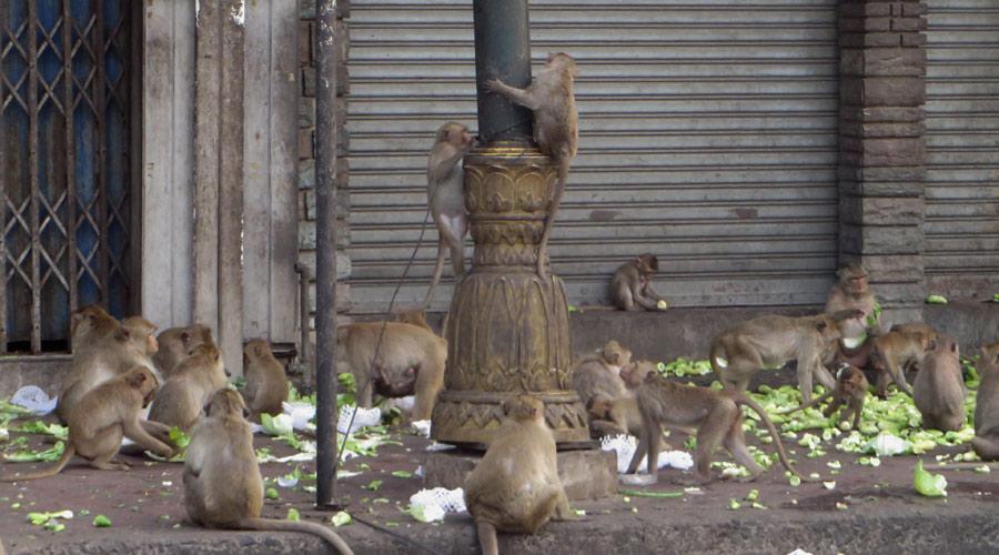Affenfütterung in Lopburi, Thailand