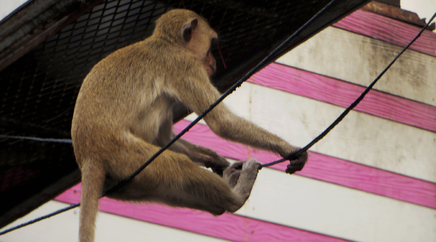 Affe auf einer Stromleitung in Lopburi, Thailand