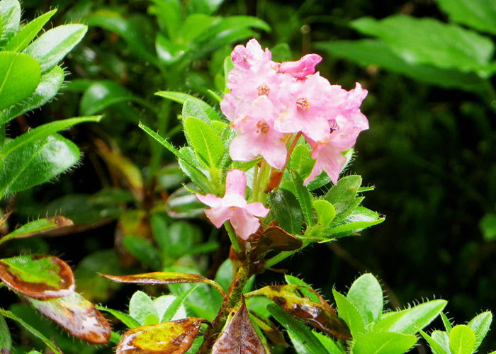 Alpenrose im Rauriser Urwald