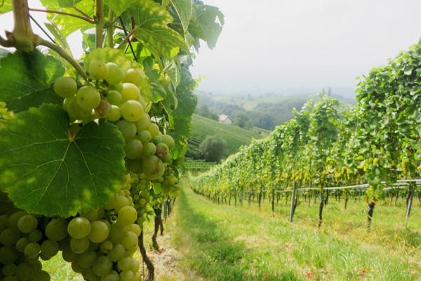 Weinberge in der Südsteirischen Weinstraße