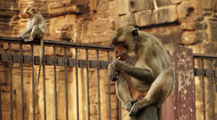 Affentempel in Lopburi, Thailand