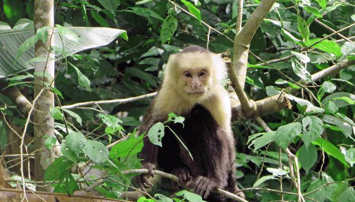 Weissschulterkapuzineraffe in Costa Rica