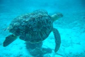 Wasserschildkröte auf den Malediven
