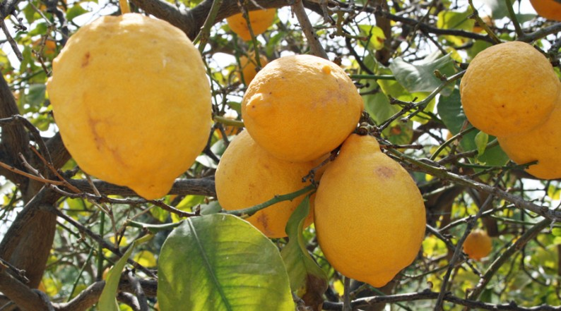 Zitronen in Zypern
