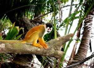 Spider Monkeys posieren für unsere Kameras.