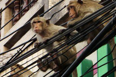 Affen in Lopburi Thailand