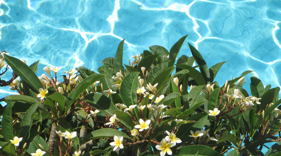 Frangipani neben dem Swimmintpool in Rhodos