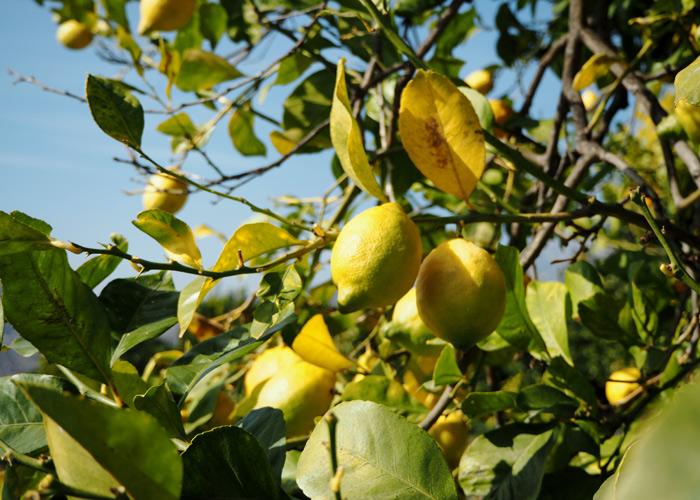 Andalusien_Malaga_weisse Doerfer_pueblos blancos_Zitronen
