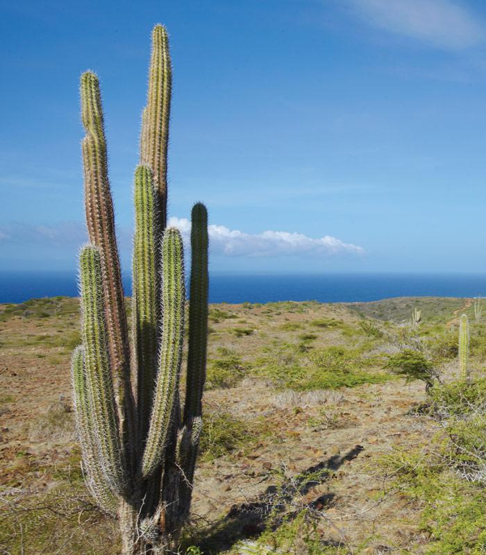 Kaktus im Nationalpark Arikok auf Aruba