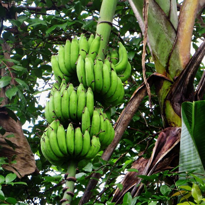 Casita Azul Costa Rica Bananen