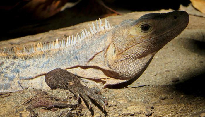 Leguan in Costa Rica