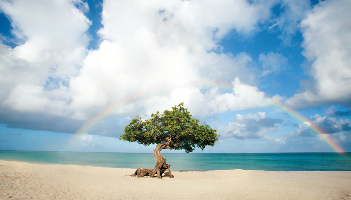 Fofoti Baum auf Aruba