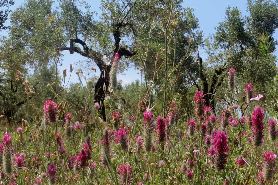 Olivenbäume auf der Chalkidiki