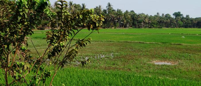 Reisfelder außerhalb von Siem Reap, Kambodscha