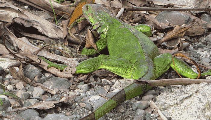 Grüner Leguan auf der Halbinsel Osa