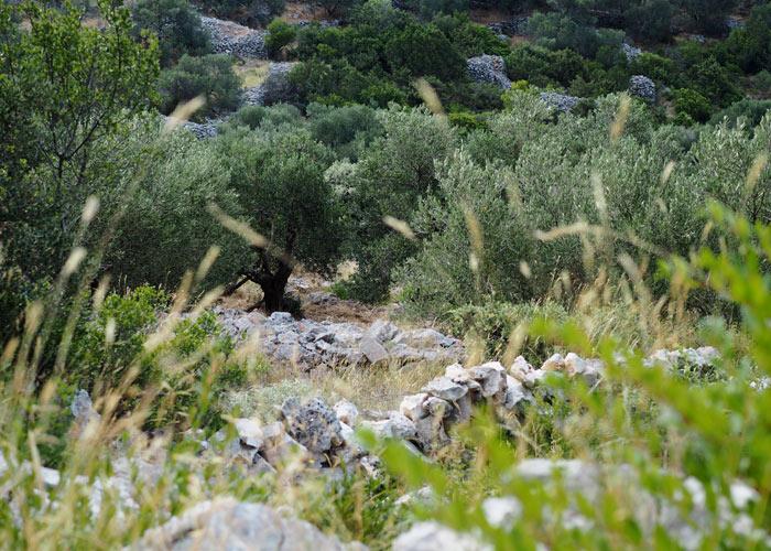 Dugi otok_schoenster Insel in Kroatien__Olivenhain auf Dugi otok
