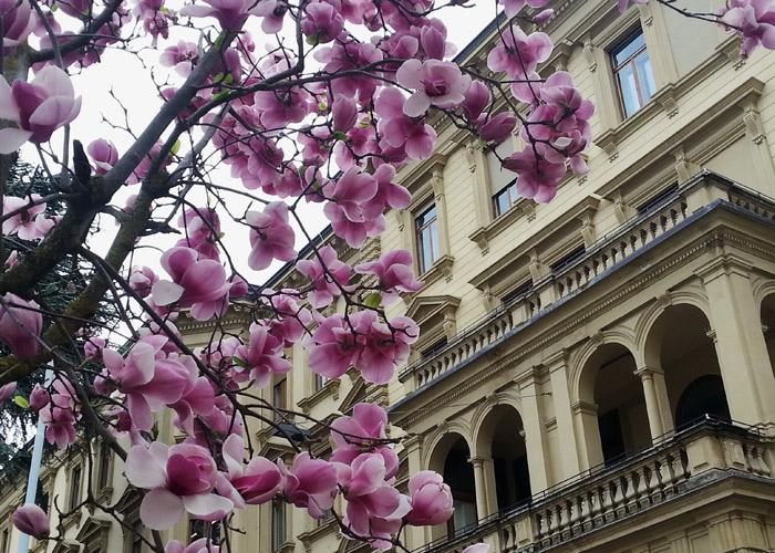 Magnolienblüte in Bozen, Italien