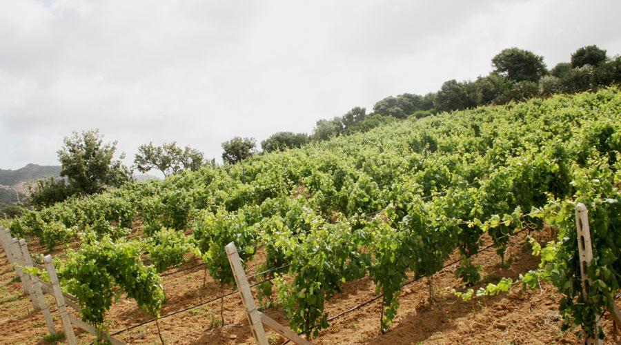 Weinanbau auf Sardinien