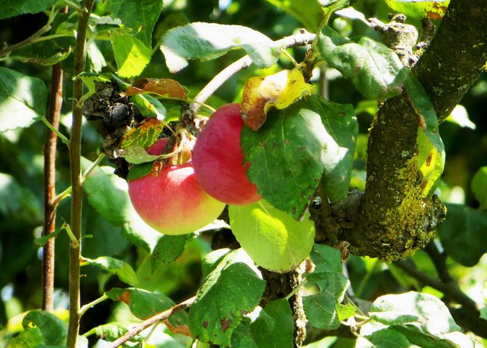 Slowenien Urlaub Bela Krajna Apfelsaft
