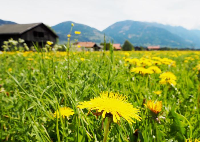 Blumenwiese bei Tristach