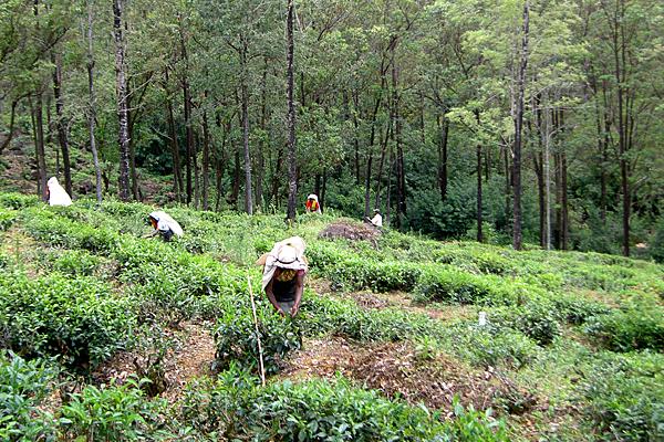 Sri Lanka, das frühere Ceylon, ist einer der größten Teeproduzenten der Welt.