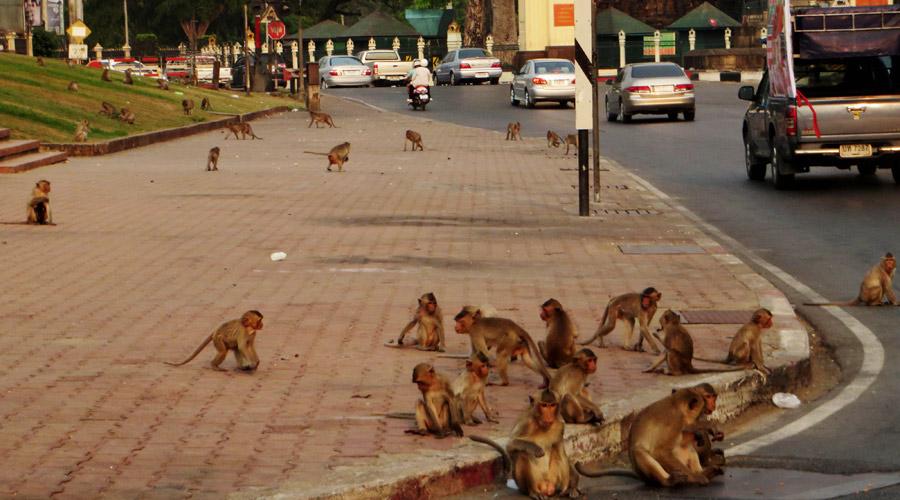 Affenplange in Lopburi