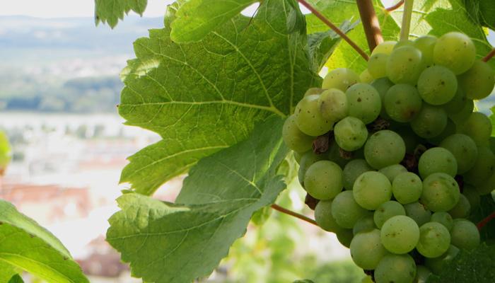 Weintrauben in der Wachau