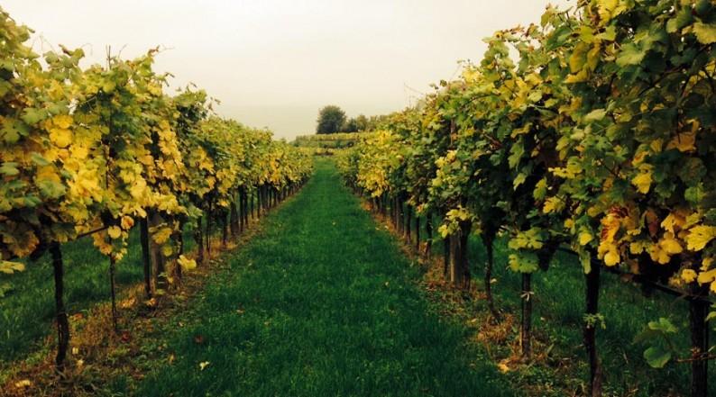 Blick auf die Weinreben des Weingartens Salomon in der Wachau