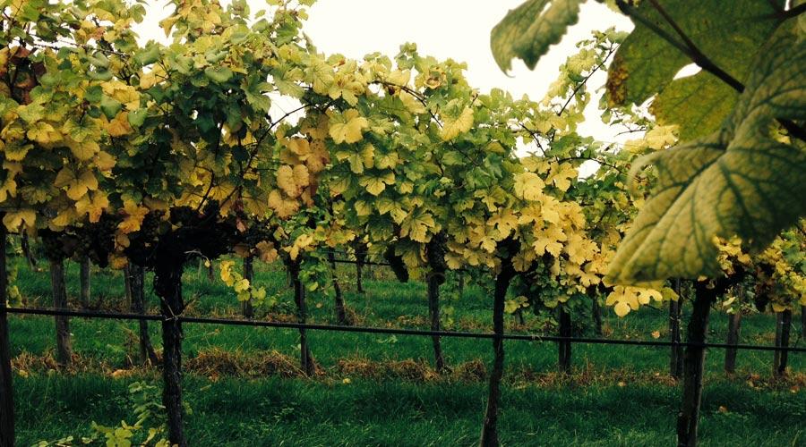 Weinreben im Weingarten Salomon, Wachau
