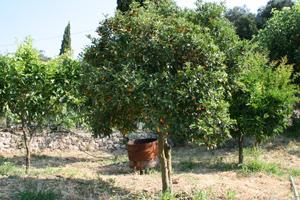 Kumquatbaum auf Korfu