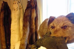 Polarfuchsmuseum in Island