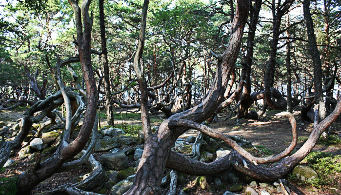Mitten im Zauberwald - hier suchen wir nach den schwedischen Fabelwesen, den Trollen.